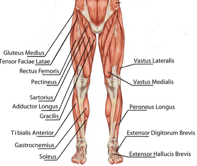 Qaudriceps trainen: dit zijn de spieren