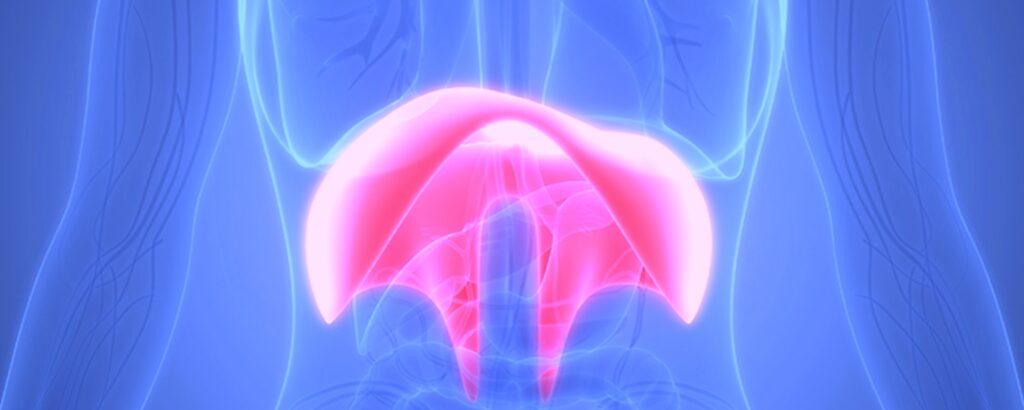 Het middenrif: je belangrijkste ademhalingsspier